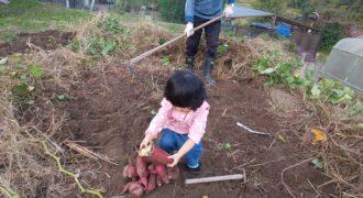 私の子育て日記4 芋を掘る